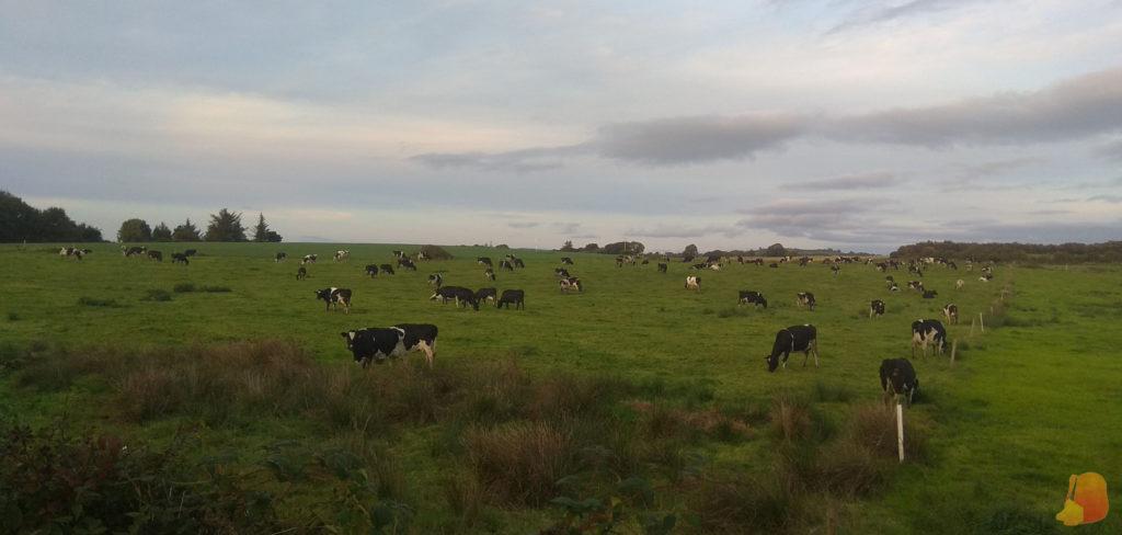 Campo lleno de vacas pastando