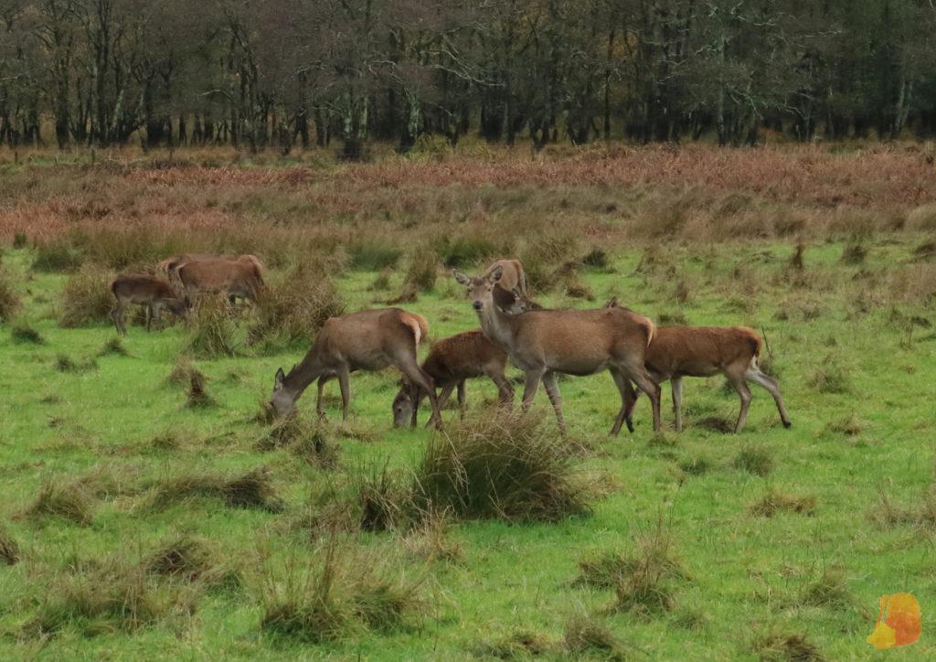Familia de ciervos en el Parque Nacional de Killarney