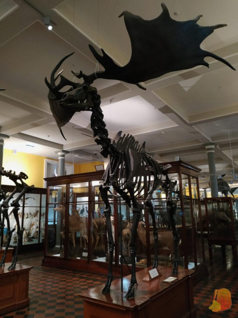 Esqueleto de ciervo gigante. Es más alto que las vitrinas en las que se exponen los ciervos comunes